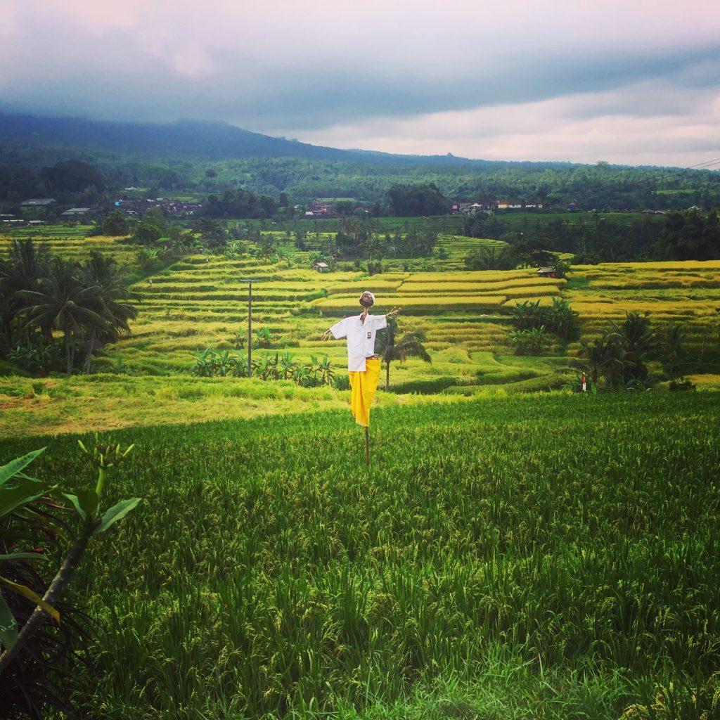 Bali - rizieres de Jatiluwih