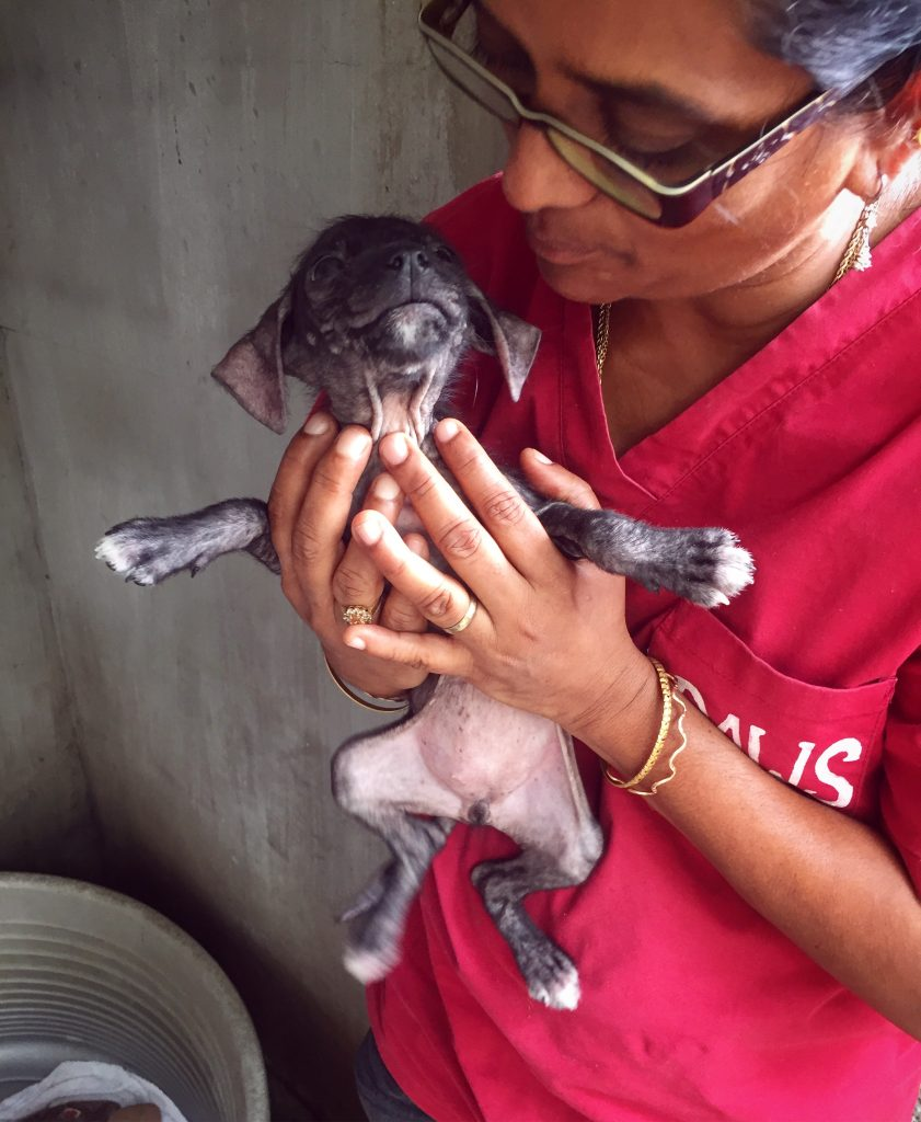 Chiens et chats de l'île Maurice - Association PAWS Mauritius