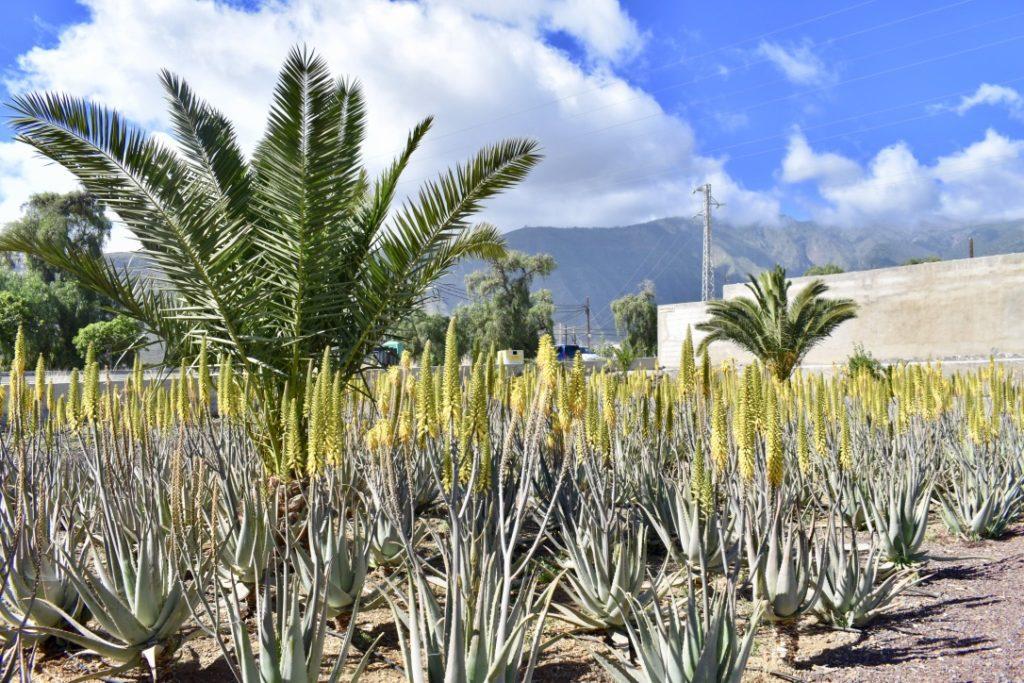 plantation aloe vera Finca Canarias Tenerife Canaries